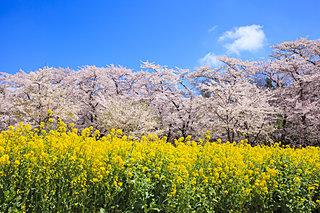 千本桜に枝垂れ桜!今年の桜に逢いに行こう♪入場無料でお花見できる北関東の桜名所