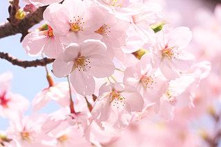 東海地方の桜の名所!デートにオススメの4スポット