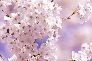 「知って得する季語」──「桜・サクラ・SAKURA」