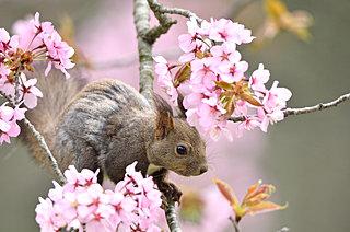 桜前線、いよいよ北海道に上陸。GWは北海道でお花見!!