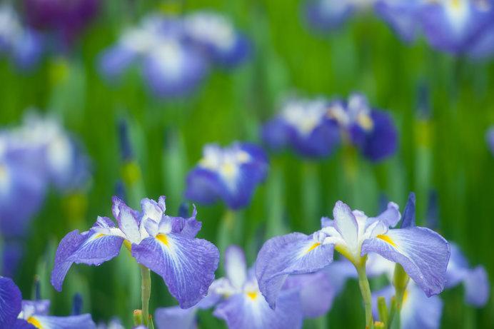 華やかで奥ゆかしい梅雨の花♪東京の花しょうぶを見にでかけよう