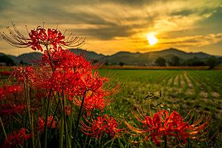 秋の彼岸に咲く赤い花!曼珠沙華(ヒガンバナ)の名所〜関西編〜