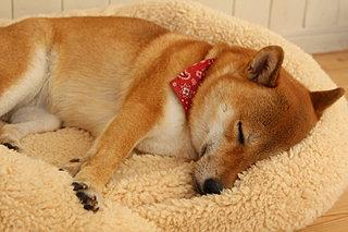 室内犬の睡眠〈快眠のための4つのポイント〉
