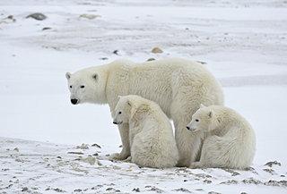 ホッキョクグマの受難から地球環境について考えよう。2月27日「国際ホッキョクグマの日」