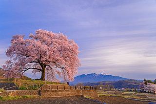2020年の桜に逢いたい♪ 北関東・甲信のさくら名所4選