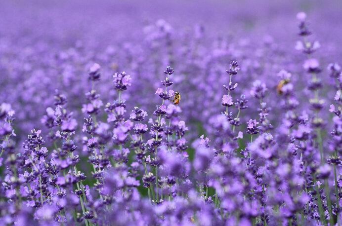 夏に咲く花を楽しもう!ラベンダー、蓮、アジサイ、ヒマワリ〜関東のお花畑〜