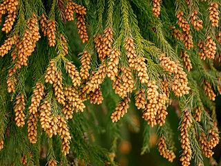 花粉シーズン到来 飛散量が多くなるタイミングは?