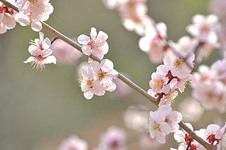 梅は春の喜びをあらわす花~平安前後の和歌に見られる梅~