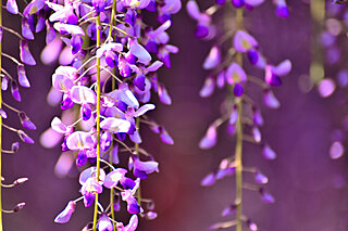 晩春を彩る藤の花。「なつかしき色」と『源氏物語』にみる高貴な美女の風情